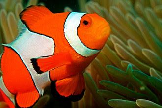 Значительно сократившийся вид рыбы-клоуна после фильма «В поисках Немо»